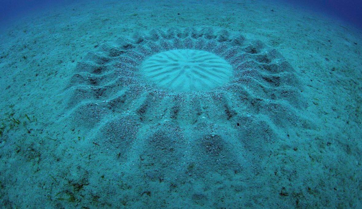 #видео дня | Автором загадочных подводных кругов оказалась рыба-романтик