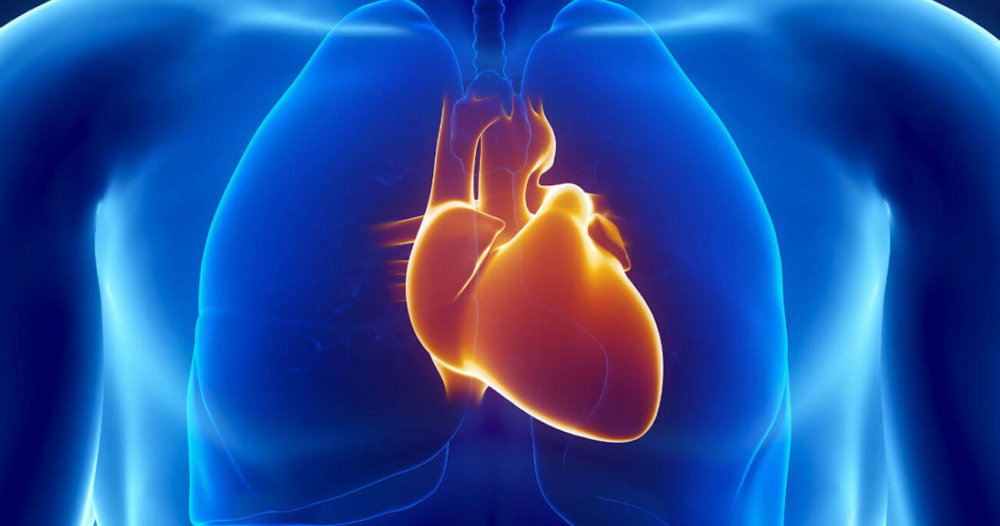 Фотографий, картинка сердце человека для детей