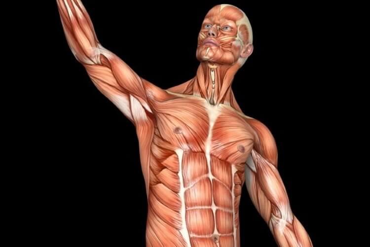 hur många muskler har vi