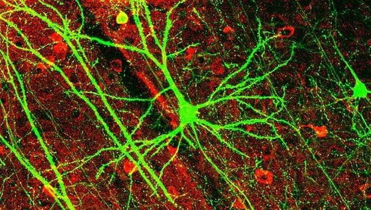 Классическое представление о работе нейронов мозга оказалось ошибочным