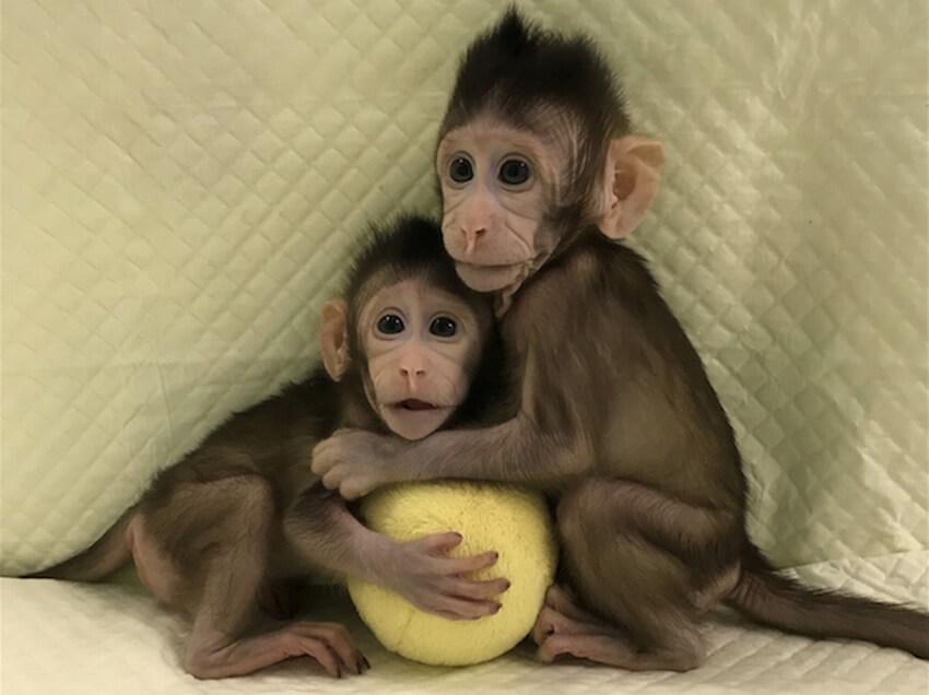 Китайские генетики впервые клонировали обезьян по методу овечки Долли