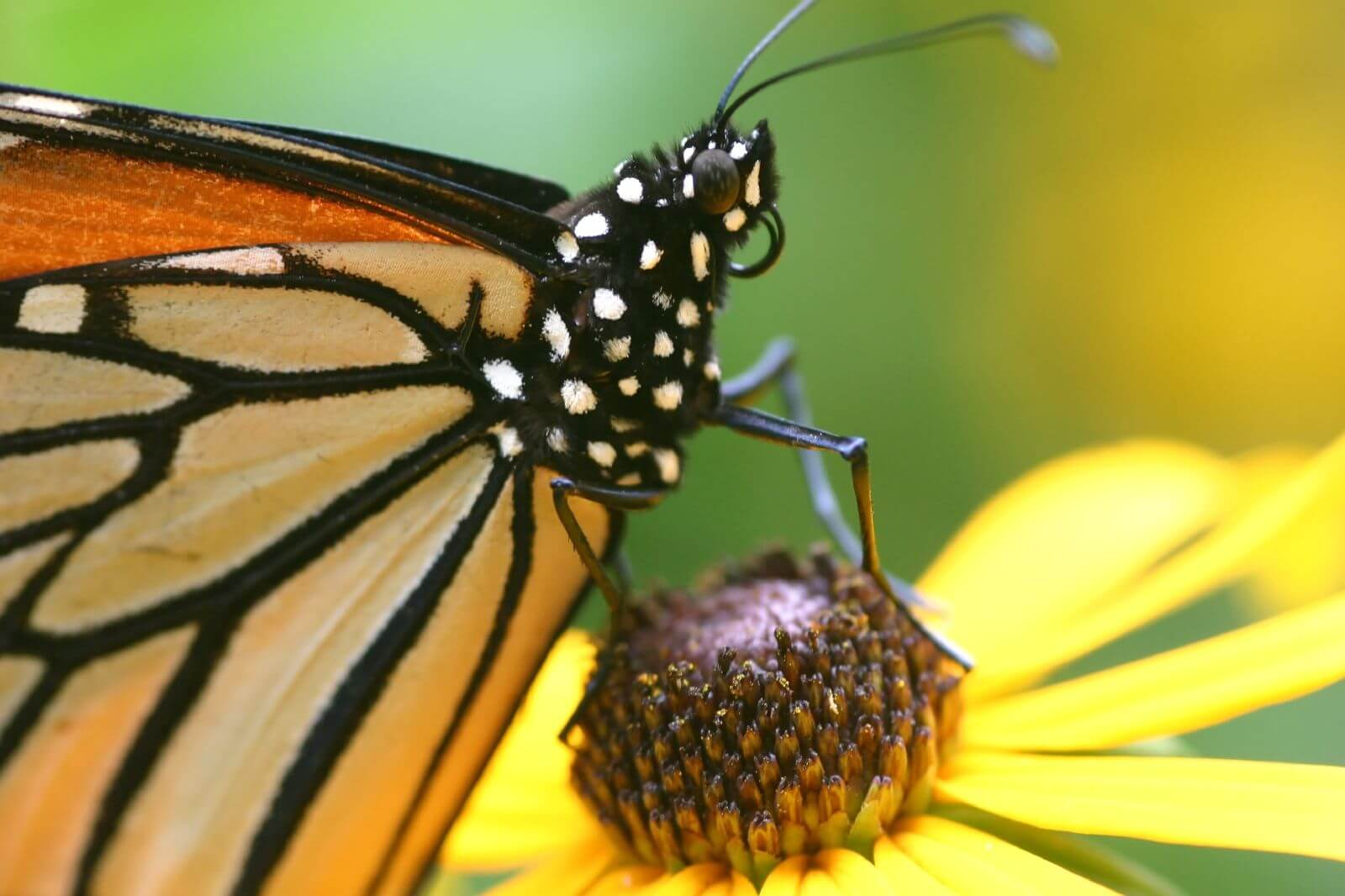 https://hi-news.ru/wp-content/uploads/2018/01/monarch-butterfly.jpg