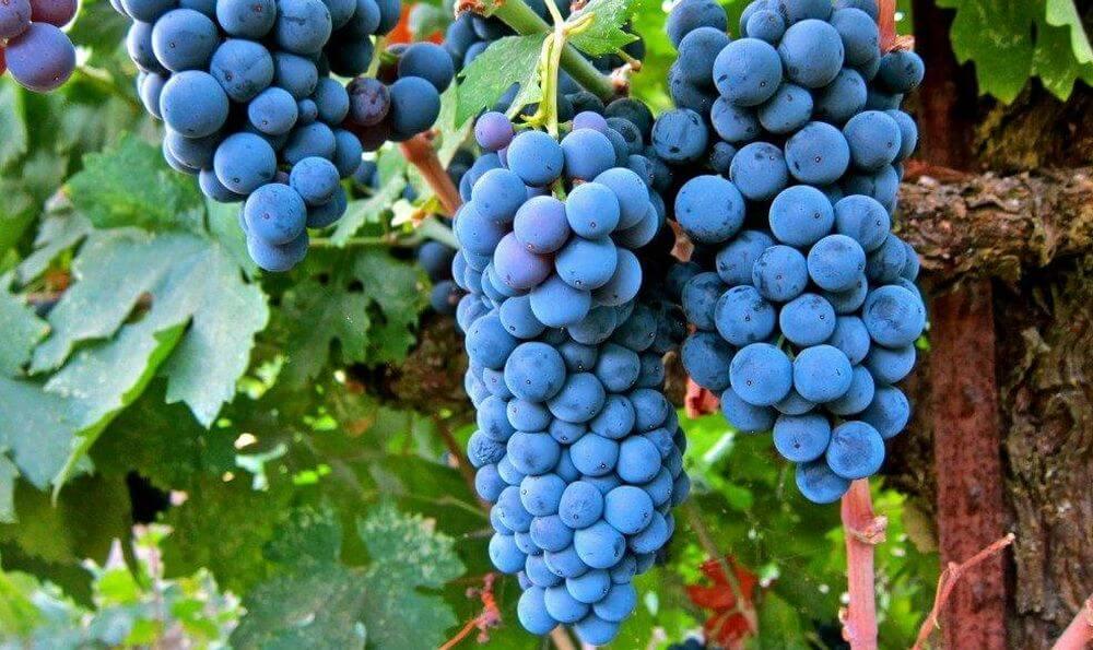 Учёные выяснили, что из винограда можно создать эффективный антидепрессант