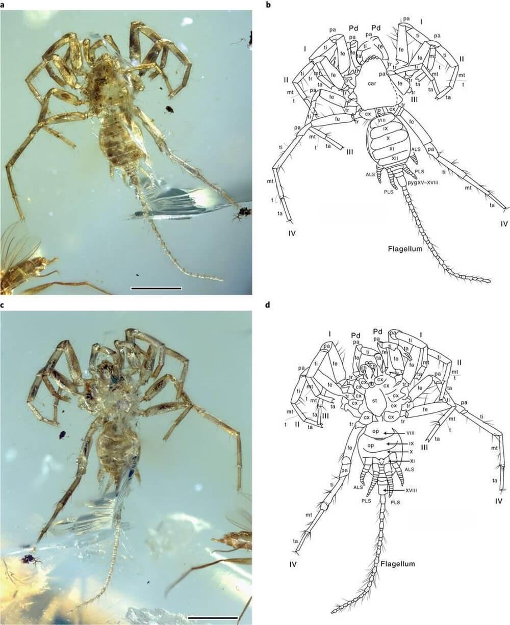 Учёные обнаружили в куске янтаря вымершего паука-химеру (3 фото)