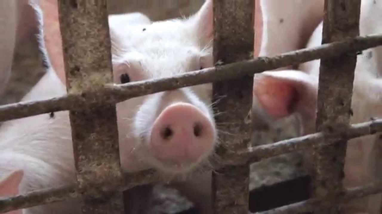ИИ-система Alibaba поможет фермерам следить за свиньями