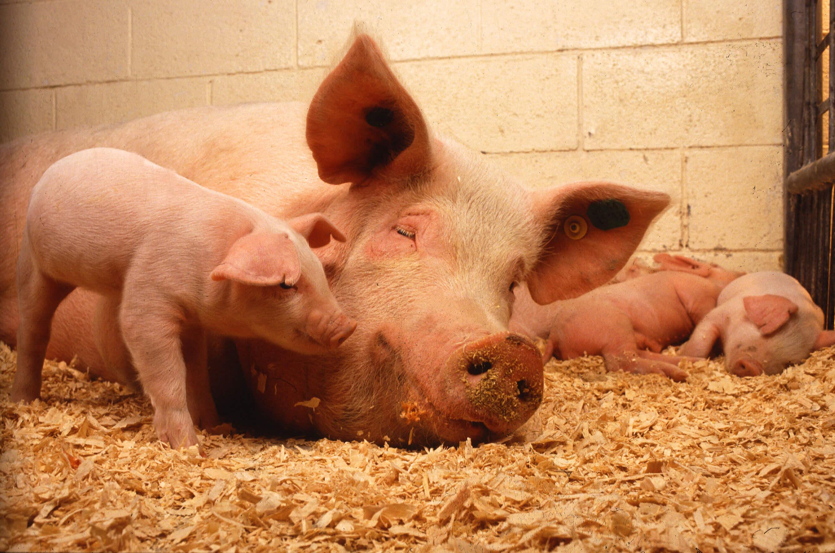 Выращивать человеческие органы у свиней. Что может пойти не так?