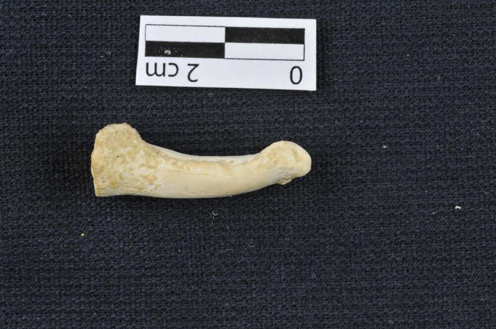 Фаланга пальца Homo luzonensis