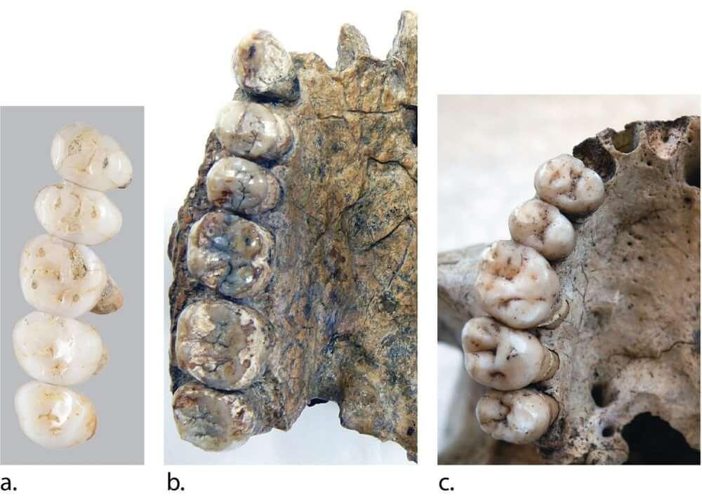 Коренные зубы Homo luzonensis