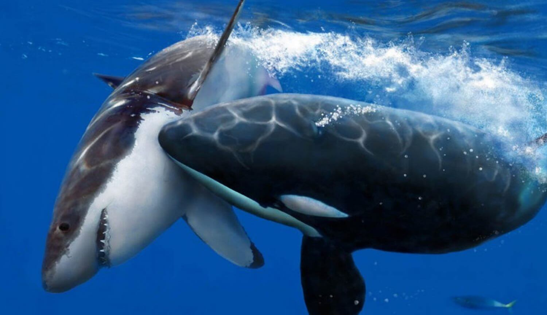 Белая акула и косатка
