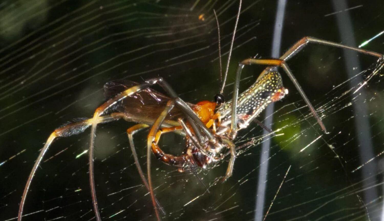Осы превращают пауков в «зомби» при помощи стероидного гормона