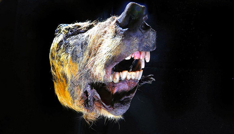 В Сибири нашли отрубленную голову гигантского волка жившего 40 000 лет назад