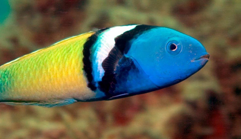 Самки 500 видов рыб умеют быстро превращаться в самцов. Как и зачем они это делают?