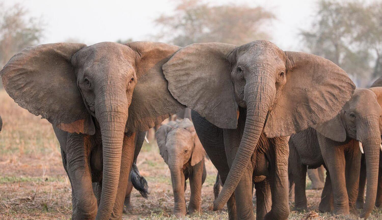 Индийские слоны начали собираться в «банды» и убивать людей