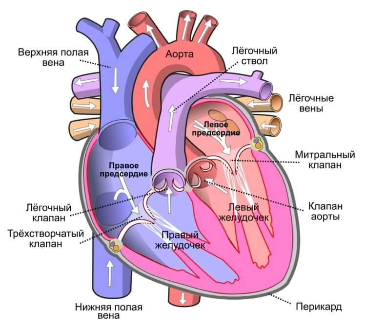 Рекомендуемый врачами антибиотик может повредить ваше сердце