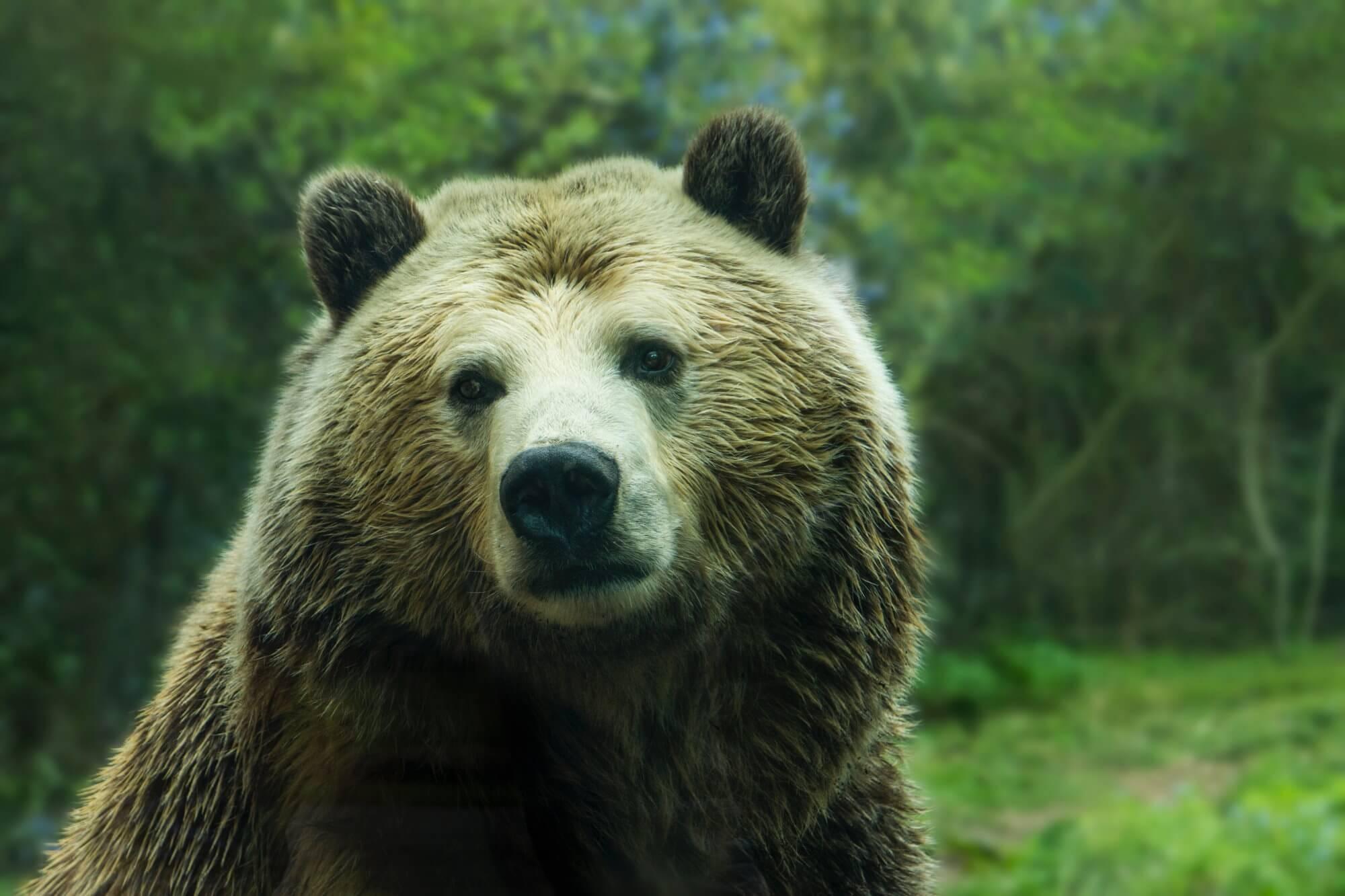 Медведи стали чаще нападать на людей. С чем это связано?
