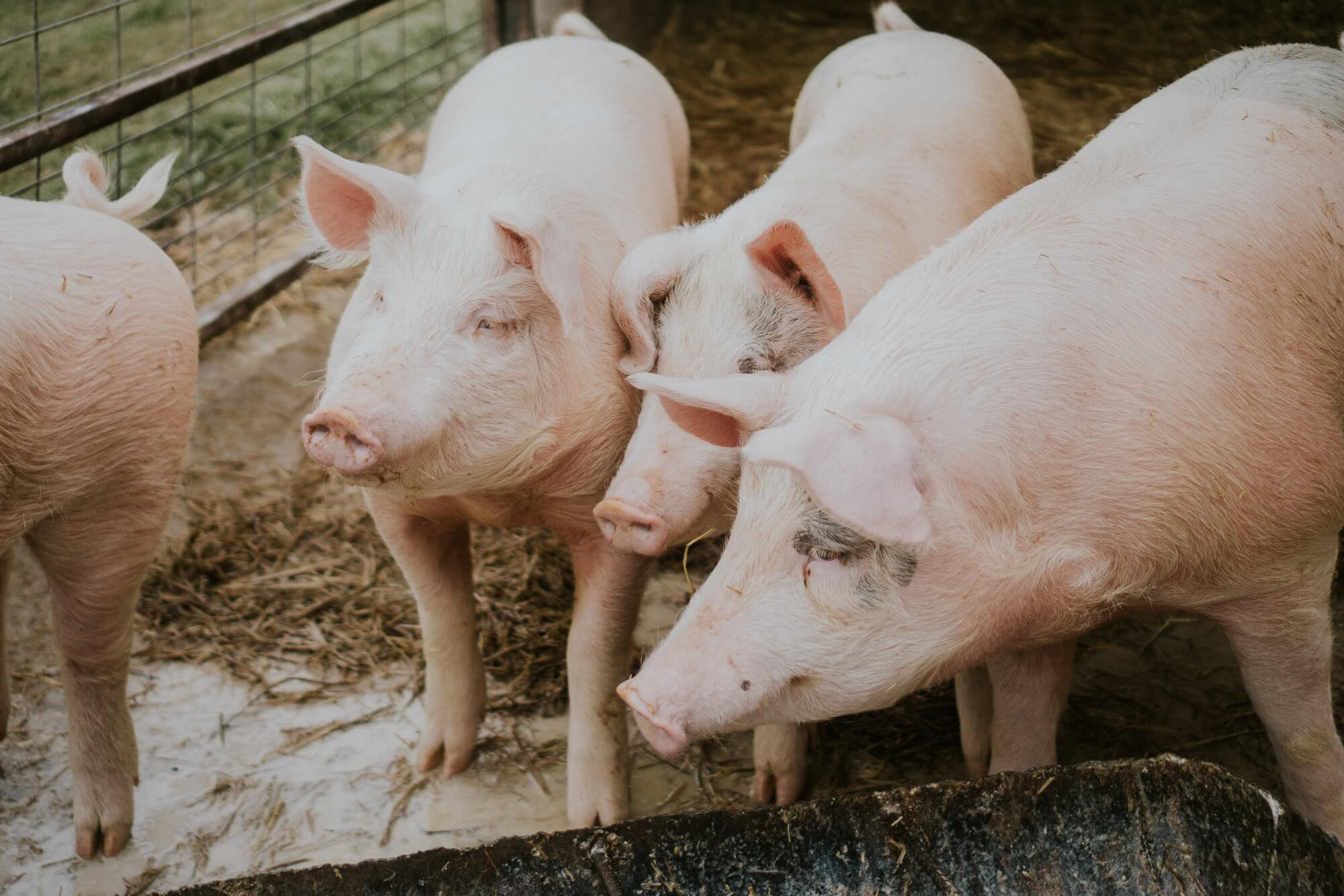 Почему в Китае начали растить свиней размером с белого медведя?