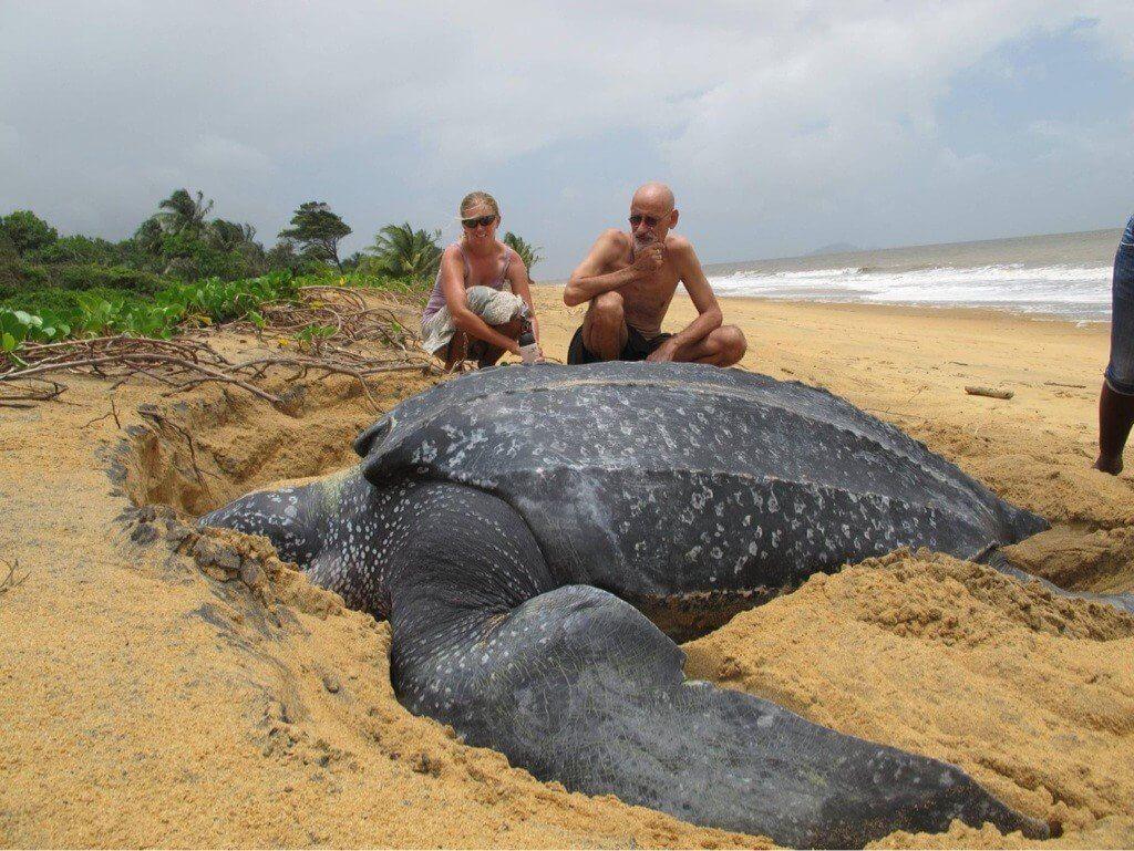 #видео | Как выглядит самая большая черепаха в мире?