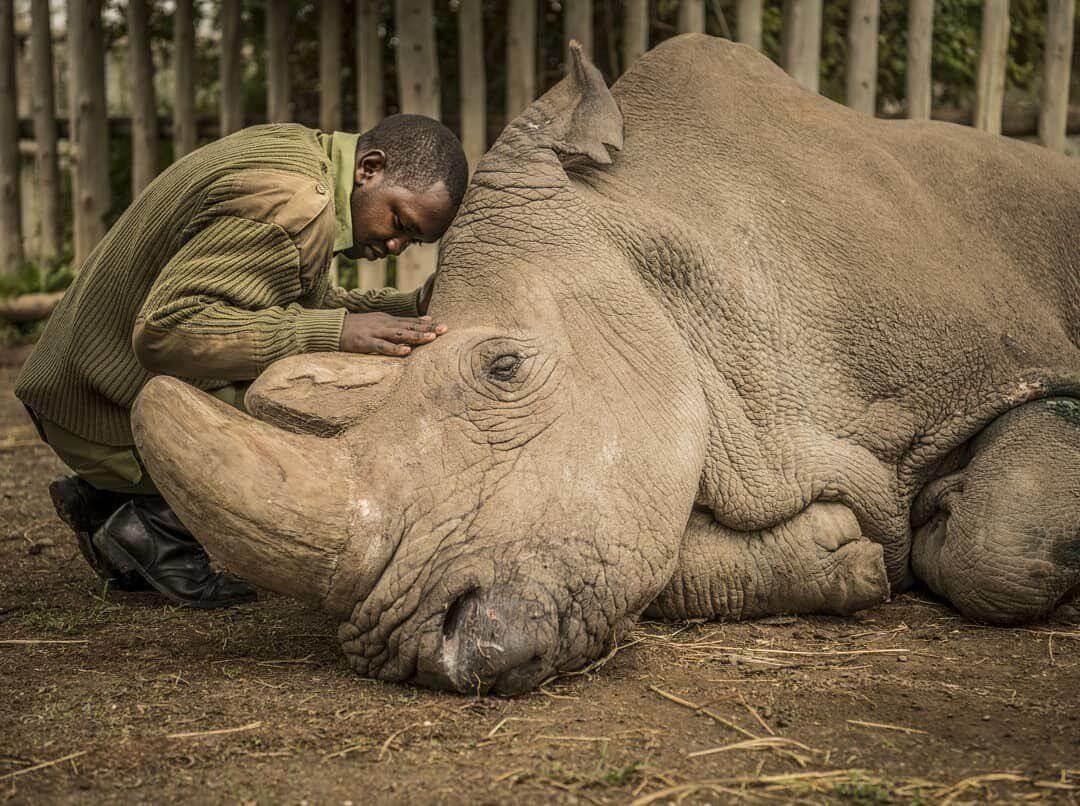 Может ли клон белого носорога спасти целый вид от вымирания?