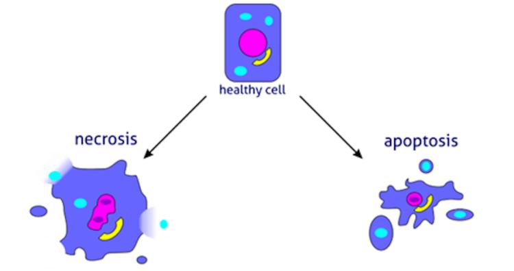Впервые удалось остановить запрограммированную смерть клеток