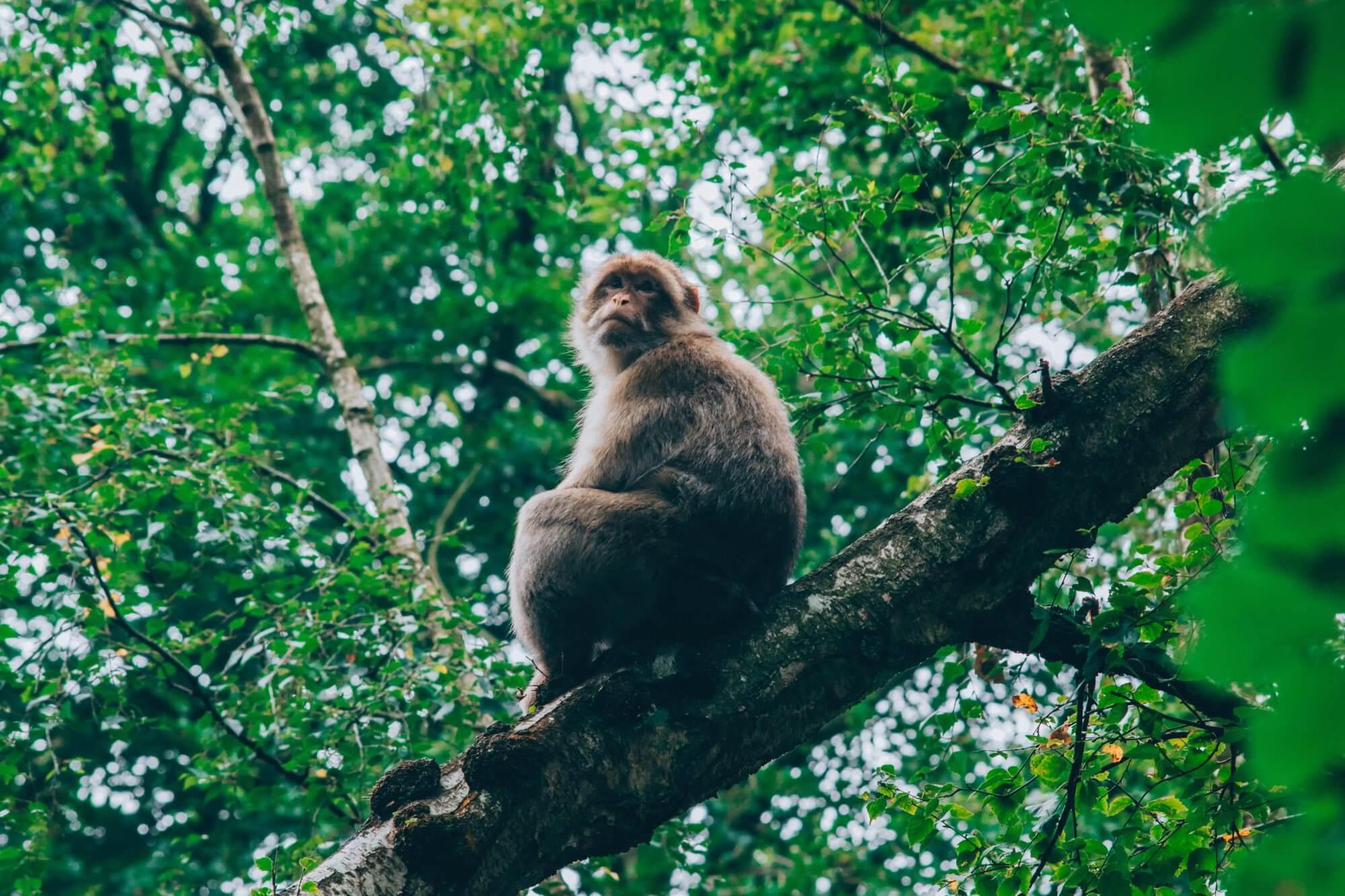 Найдено доказательство, что обезьяны способны есть крыс