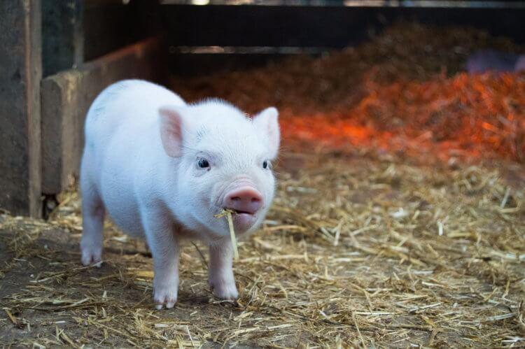 Свиная кожа впервые помогла вылечить сильный ожог человека