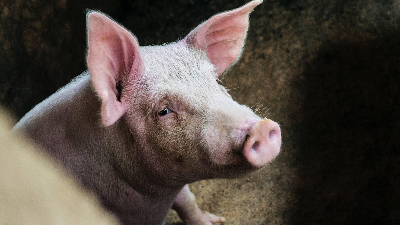 видео свиньи умеют копать ямы помощи инструментов