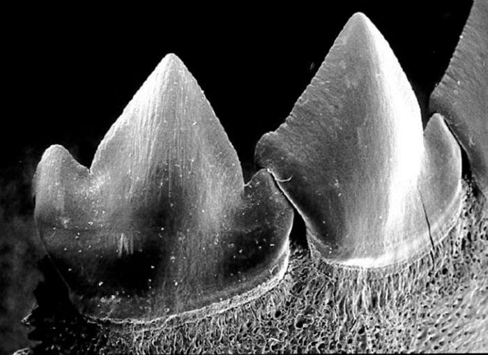 Хищные рыбы пираньи меняют зубы целыми блоками. Но зачем?