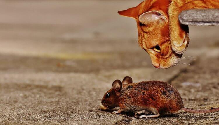 Кошки могут заразить человека инфекцией, поражающей зрение