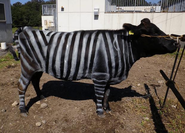 Коров можно защитить от мух, покрасив их в цвет зебры
