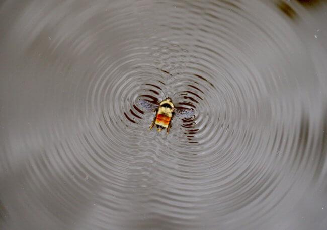 #видео | Пчелы научились плавать, чтобы не утонуть в вашем напитке | Hi-News.ru