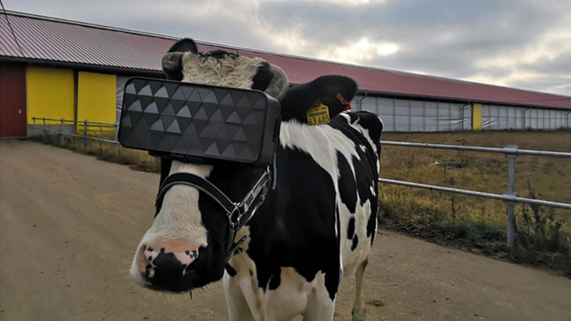 В России выяснили, как виртуальная реальность влияет на самочувствие коров