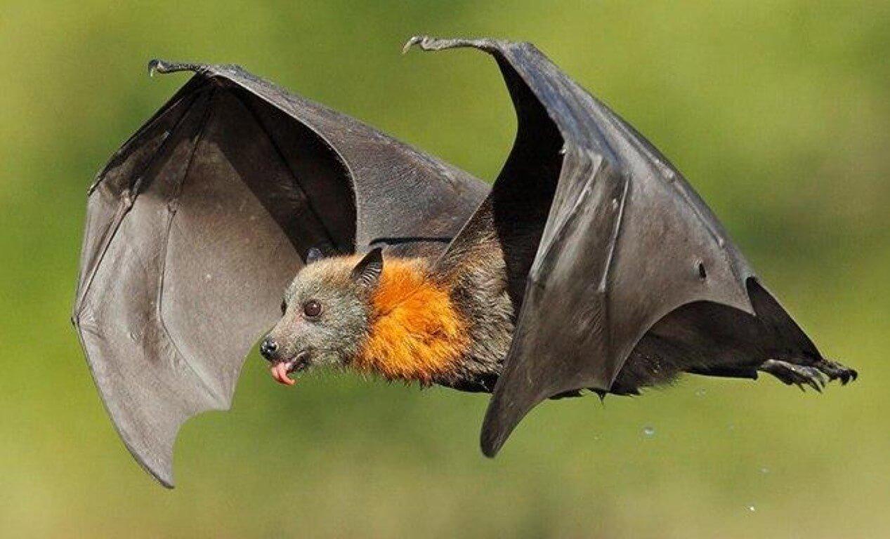 Почему летучие мыши считаются идеальными переносчиками болезней?