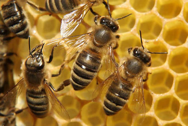 Как пчелы размножаются без спаривания