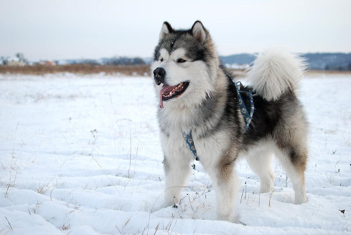 Когда люди начали использовать собак для передвижения?