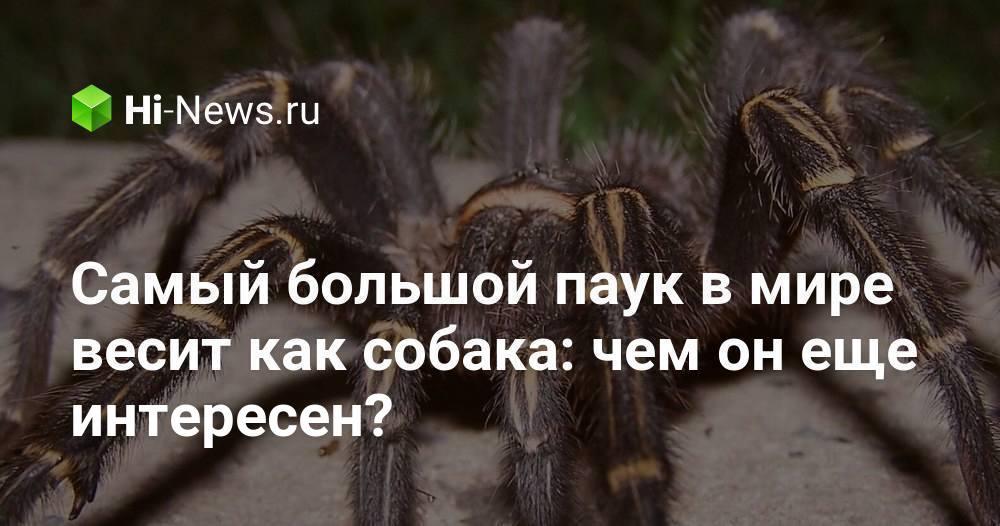 Самый большой паук в мире весит как собака: чем он еще интересен?