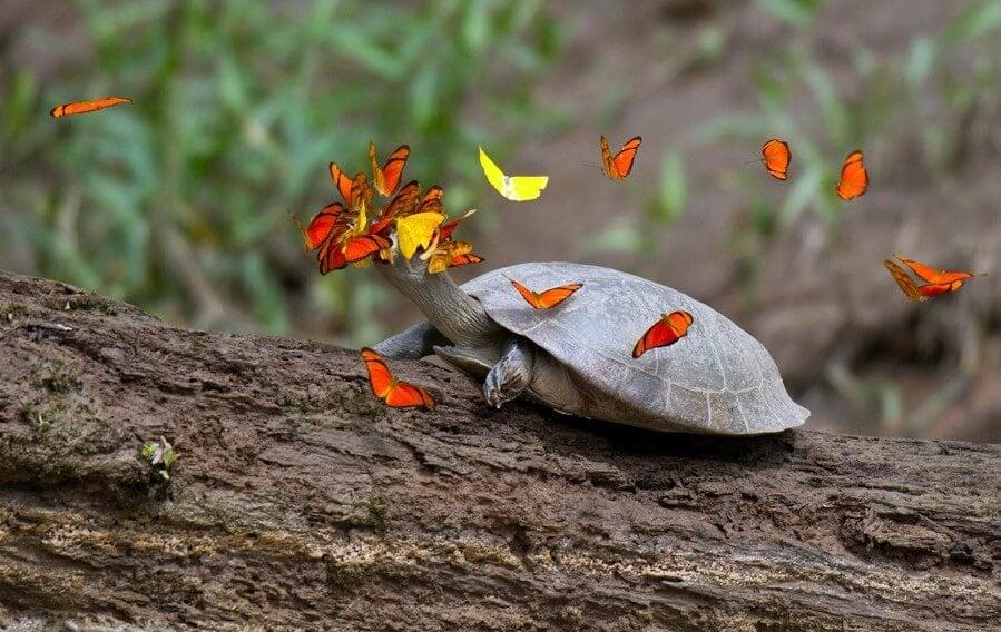 Почему бабочки любят пить слезы черепах?