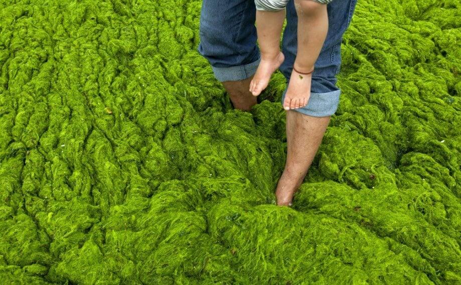Ядовитые водоросли: какими они бывают и чем опасны?