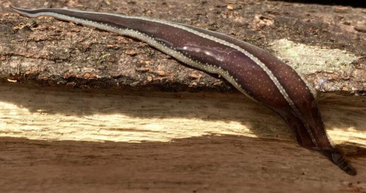 Как самые большие черви могут навредить природе?