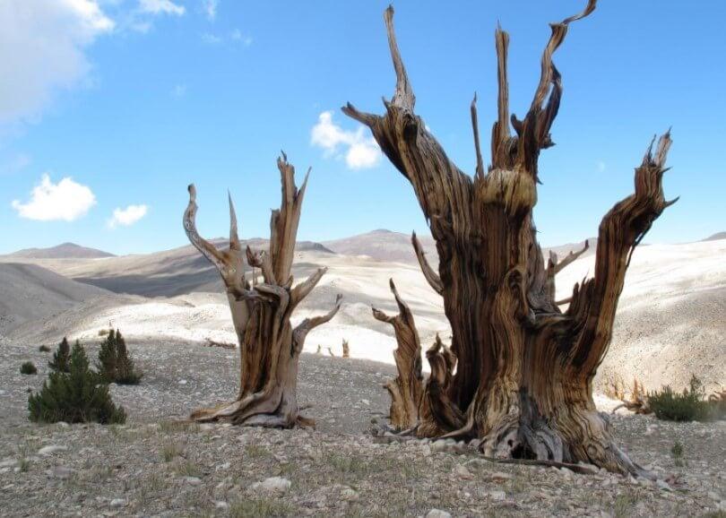 Где находятся самые старые деревья России и сколько им лет