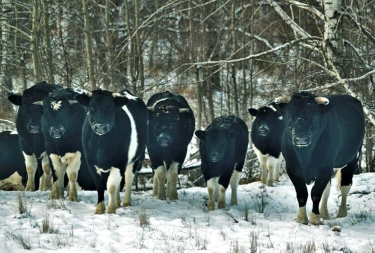 Быки и коровы из Чернобыля начали вести себя как дикие звери
