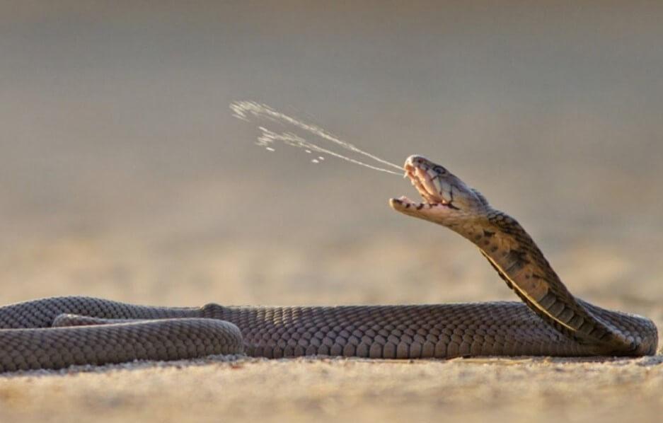 Какие змеи плюются ядом и что после этого происходит