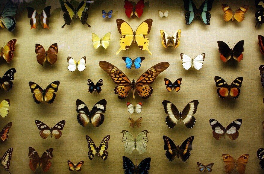 Почему люди перестали коллекционировать бабочек