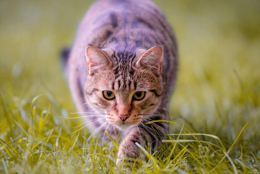 Можно ли отучить домашних кошек охотиться