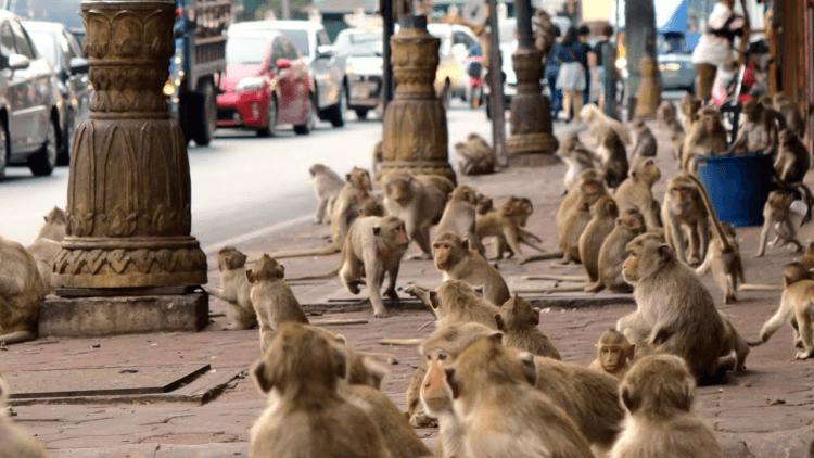 Как макаки-крабоеды захватили город в Тайланде