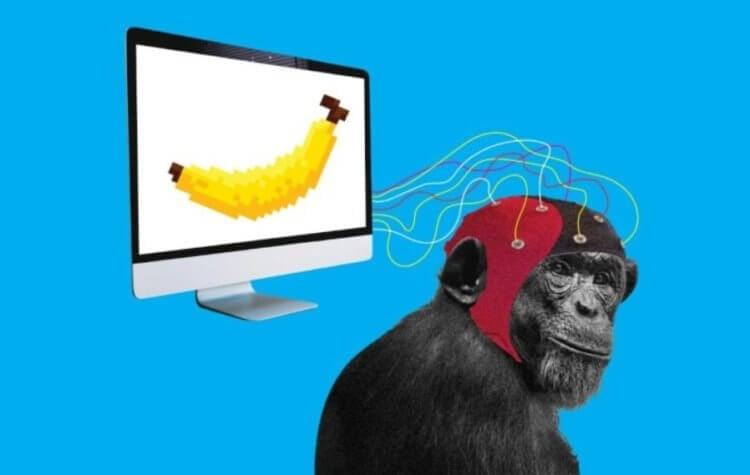 Илон Маск объявил об успешном «чипировании» обезьяны. Что она теперь умеет?