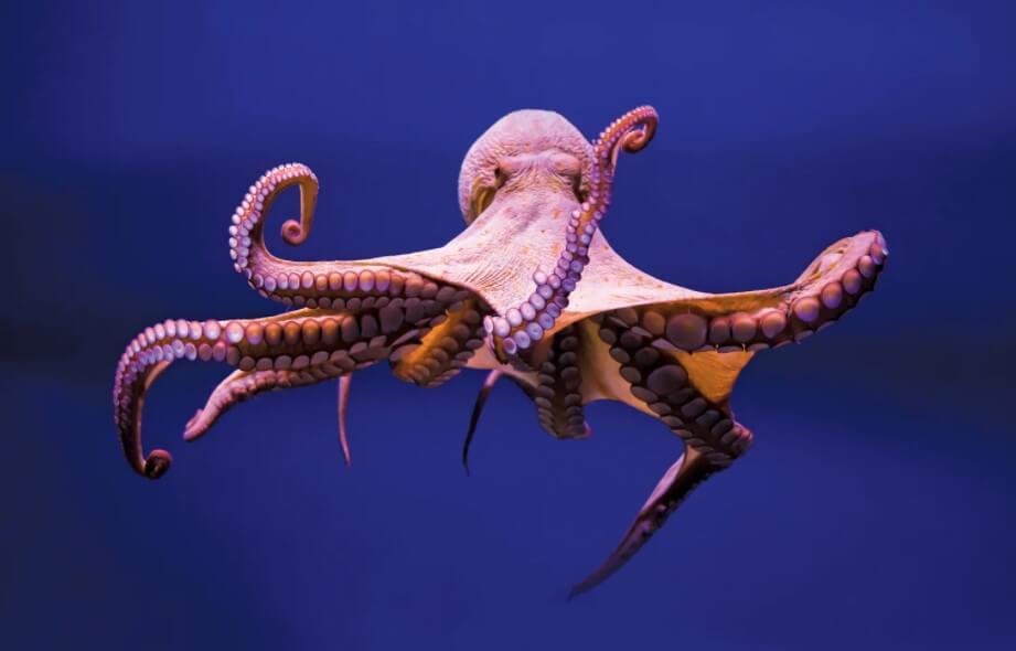 Почему осьминогов можно считать самыми умными животными в мире?