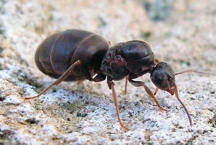 Некоторые муравьи умеют менять размер своего мозга. Для чего они это делают?