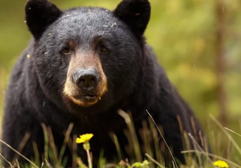 Черные медведи стали вести себя более дружелюбно. Это признак опасной болезни