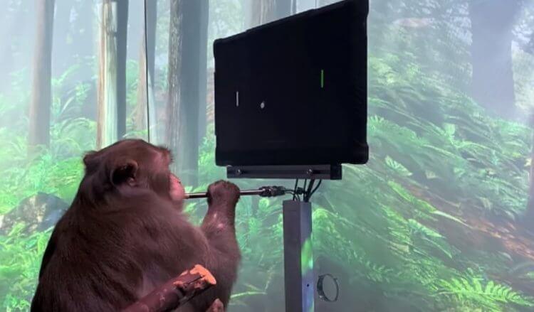 Neuralink впервые показала чипированную обезьяну. Она управляет компьютером силой мысли