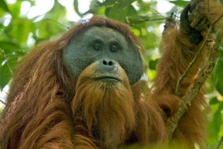 Самые редкие и большие обезьяны скоро могут исчезнуть. Виноваты снова люди